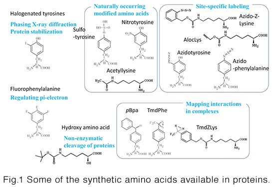 incorporation of synthetic amino acids into proteins at specific